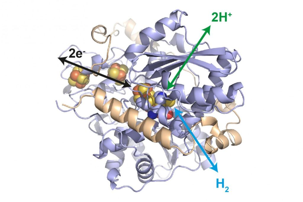 Enzyme for Platinum Free Fuel Cells